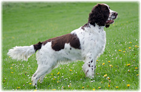 English Springer Spaniel Hundezüchter