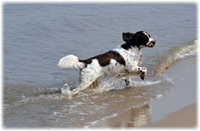 Springer Spaniel Welpen Brown Velvet